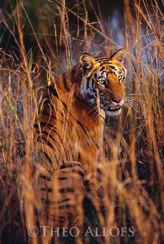 Bandhavgarh National Park, India --- Bengal Tiger Sitting in Tall Grass