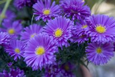 Discover 12 of the best Michaelmas daisies (asters) to grow for autumn colour in the garden, recommended by the experts at BBC Gardeners' World Magazine. House Plants, Michaelmas Daisy, Purple Flowers, Autumn Garden, Plants, Sun Garden, Fall Flowers, Plant Finder, Daisy