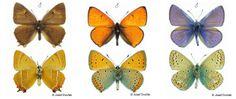 Modráskovití - Lycaenidae