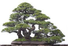 bonsai live tree in Lawn and Garden Supplies Ficus Bonsai, Pine Bonsai, Indoor Bonsai Tree, Bonsai Seeds, Bonsai Plants, Juniper Bonsai, Bonsai Forest, Dwarf Trees, Plantas Bonsai