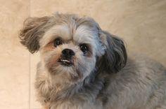 Hunde für Allergiker: Shih Tzu - der kleine Löwe