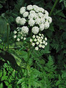 osha plant | bear medicine | rocky mountain