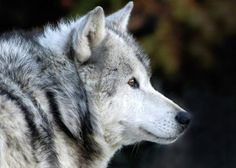 End the Brutal Slaughter of Gray Wolves | Since gray wolves lost their federal protection in 2011, legislators have ordered for the brutal slaughter of almost 1,000 wolves. Demand the end of the inhumane and unjust campaign against these poor creatures before another innocent life is lost. Click for details and please SIGN and share petition. Thanks. (10/20)