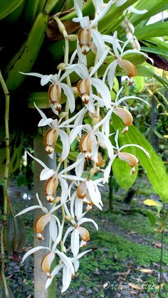 Coelogyne swaniana or Swain's Coelogyne. Found in Malaysia, Borneo, Sumatra and the Philippines in dense to open forests on large branches at elevations of 910 meters.