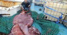 Oaxaca Digital   Atrapan calamar gigante en mar antártico