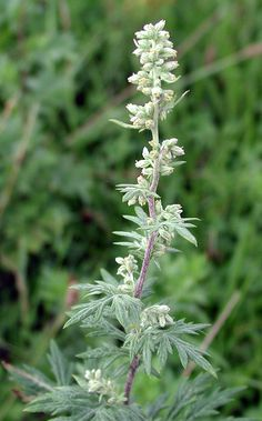 Mugwort ~ Bitter digestive tonic, uterine stimulant, stimulating nervine, menstrual regulator, antirheumatic, anthelmintic, anti-spasmodic, carminative, choleretic, diaphoretic, vermifuge. Milder in action than its relative Wormwood. Encourages the elimination of worms. Sooths and decreases inflammation externally. Also antiseptic and effective treatment for Poison Oak.