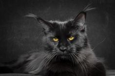 OtiCami DOLCE VITA. OtiCami Maine Coon Cattery - Our Females