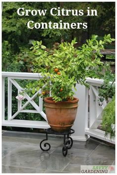 Grow Meyer lemons Bearss limes Calamondin oranges and more with these 8 simple steps to grow citrus in containers. Grow Meyer lemons Bearss limes Calamondin oranges and more with these 8 simple steps to grow citrus in containers. Vintage Garden Decor, Vintage Gardening, Organic Gardening, Gardening Tips, Vegetable Gardening, Citrus Garden, Fruit Garden, Citrus Trees, Fruit Trees