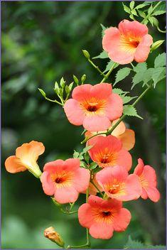 Beautiful Rose Flowers, Exotic Flowers, Orange Flowers, Tropical Flowers, Amazing Flowers, Beautiful Flowers, Berry Plants, Climbing Vines, Flower Wallpaper