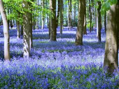 Bluebell_Flowers_in_the_Wood_Wallpaper_7hl9p.jpg (1024×768)