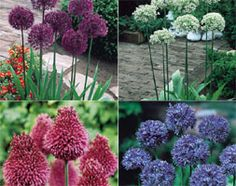 Alliums are still top of any garden designers list. The unusual and often striking flower heads compliment the modern cottage garden. Alliums left undisturbed in well-drained soil will naturalise and give years of pleasure. Modern Cottage, Garden Shop, Edible Plants, Front Yard Landscaping, Bulbs, Landscape Design, Designers, Gardening, Top