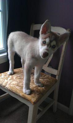 Interested Husky Puppy