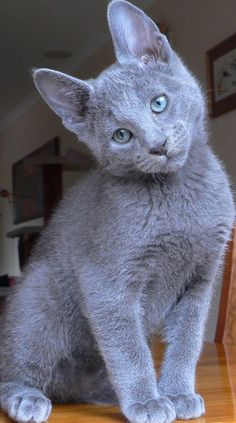 Russian Blue cats are best described as intelligent,active and robust cat breeds.Russian Blues love to play and likes to spend their time with their owners.Russian Blue cats are very easily to groom. Cute Cats And Kittens, I Love Cats, Cool Cats, Kittens Cutest, Ragdoll Kittens, Bengal Cats, Gatos Cats, Photo Chat, Dog Cat
