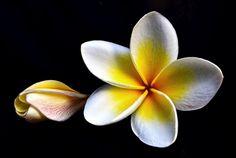 Plumeria: flor tropical para el interior de tu hogar - http://www.jardineriaon.com/plumeria-flor-tropical-para-el-interior-de-tu-hogar.html