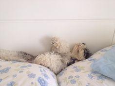 Amy, mini schnauzer! Dormindo totalmente relaxada...!
