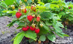 Выращивание рассады земляники из семян - посев, правильный уход и полив, а также узнайте когда сеять, как пикировать и досвечивать...