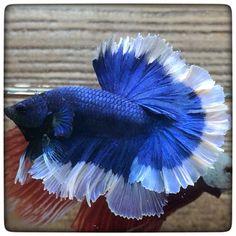 AquaBid.com - **The Best Blue Butterfly 256**