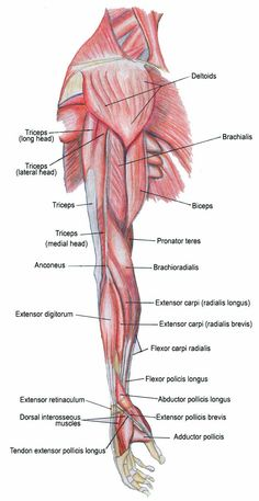 Arm Muscle And Bone Arm Bones And Muscles Diagram | Danasrfa.top