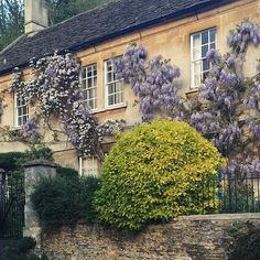 Clematis and wisteria in Castle Combe. #terraininengland
