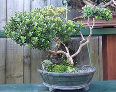 New Zealand Bonsai Association Bonsai Plants, Nativity, The Nativity, Bonsai, Birth