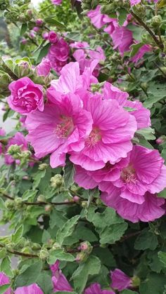 Plants With Pink Flowers, Magenta Flowers, Rock Flowers, Colorful Flowers, Indian Flowers, Unusual Flowers, Amazing Flowers, Pretty Flowers, Petunias