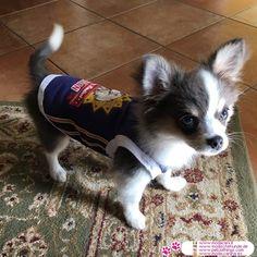 Camiseta Azul Indian para Perros Machos #ModaCanina #Chihuahua - Camiseta Azul para Perros Machos de tamaño pequeño (Chihuahua, Caniche, maltés, Bulldog Francés), con la impresión en la parte posterior de un águila