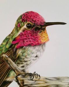 Close up of the hummingbird by Sarah Stribbling. Polychromos colour pencils on mixed media paper.