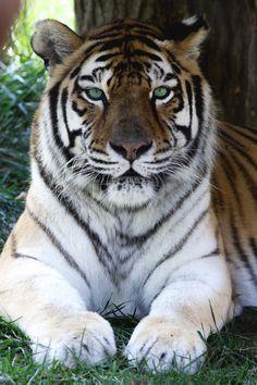 Snapchat: Samii1010 #tiger