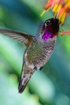 Hummingbird - ©Patrick Strock (via 500px)