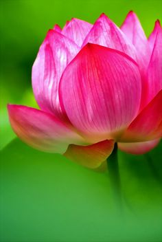Rich in meaning and metaphor, the Lotus symbolizes purity and enlightenment. Isn't it fascinating how it grows in murky waters, yet rises above the surface to bloom glorious? I have been inspired, awakened, and enlightened. Exotic Flowers, My Flower, Pink Flowers, Beautiful Flowers, Colorful Roses, Beautiful Boys, Pink Lotus, Horticulture, Planting Flowers