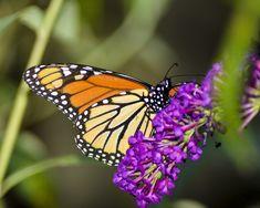 Papillon, Insectes, Nature, Fleur, Aile, Monarque