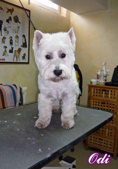 Odi - Psi Fryzjer Snow Star on Psi Fryzjer Toruń - Salon Psiej Urody Snow Star w Toruniu  http://psiafryzurka.pl/social-gallery/odi-psi-fryzjer-snow-star