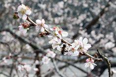 """「四季桜」見ごろに、山南町下滝の微妙寺。""""Shiki zakura"""" migoro ni, Sannan-chou Shimotaki no Bimyouji. """"Sakura empat musim"""" saatnya dilihat, kuil Bimyouji, kota Shimotaki, Sannan."""