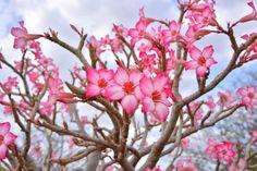 Decora tu hogar con un auténtica Rosa del Desierto - http://www.jardineriaon.com/decora-tu-hogar-con-un-autentica-rosa-del-desierto.html #plantas