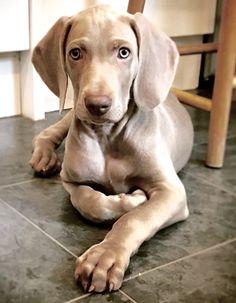 Weimaraner puppy 9 weeks old