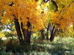 Autumn Cottonwood Woods Along River bottom New by CheyAnneSexton