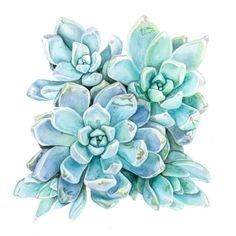 Succulent Watercolor Print Blue Graptopetalum by HeartwoodMarket