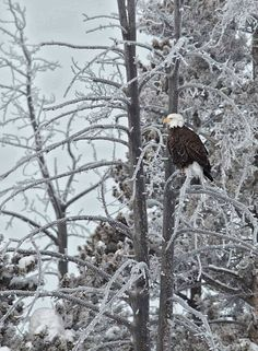 Bald Eagle in the snow at Yellowstone Park, Wyoming, USA, photograph by Charles Glatzer @shootthelight.com
