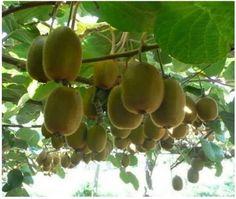 Tohumdan Kivi Bitkisi Nasıl Yetiştirilir? 5