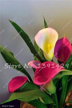 200 Calla Lily Seeds, Calla Lily Bulbs, Room Flowers Rhizome zantedeschia aethiopica, Bonsai Houseplants Home Garden Pot Plant