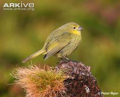 Nightingale Island finch (Nesospiza questi)