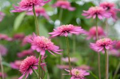 Discover 10 of the best plants with pink flowers to grow, including gorgeous perennials, shrubs and climbers, with advice from BBC Gardeners' World Magazine. Plants With Pink Flowers, Teacup Flowers, Dutch Gardens, Small Gardens, Southern Belle Secrets, Popular Tree, Herbaceous Border, Spring Blooms, Gardening Supplies