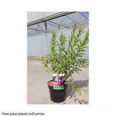 Prunus glandulosa 'Rosea Plena' (Large Plant) - Shrubs - I am in LOVE with this cute bush!!