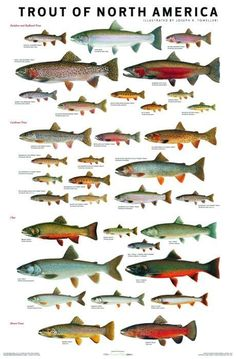 Trout are Awesome You wont believe the different colors they have. Utah has someof the best Trout in the World! Trout are Awesome Y Fishing Knots, Gone Fishing, Kayak Fishing, Saltwater Fishing, Fishing 101, Fishing Stuff, Trout Fishing Lures, Shimano Fishing, Fishing Hole