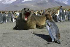 Southern Elephant Seal Barking at Penguin Chick Photographic Print by Paul Souders at AllPosters.com
