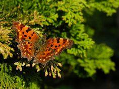 Robert le Diable Papillons