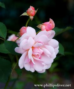Felicia - Hybrid Musk Rose - Dirt Therapy