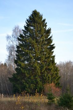 Norway spruce (Picea abies) is a species of spruce native to Europe. It is a large, fast-growing evergreen coniferous tree growing to 35-55 m tall and with a trunk diameter of up to 1-1.5 m (2 -2,4 m) . The tallest measured Norway spruce, 63 m tall, is in Perucica Virgin Forest, Sutjeska National Park, Bosnia-Herzegovina. The lifespan is up to 600 year old. Oldest recorded specimen in Bavarian Forest, Germany was 468 year old. http://en.wikipedia.org/wiki/Picea_abies