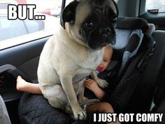 Funny Animal Pictures - View our collection of cute and funny pet videos and pics. New funny animal pictures and videos submitted daily. Funny Dogs, Funny Animals, Cute Animals, Animal Funnies, Animal Memes, Love Dogs, Pug Love, Friday Pictures, Funny Pictures