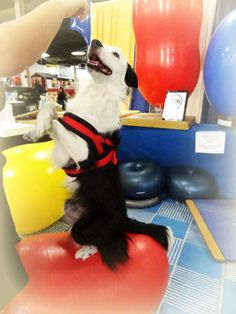How strong is your dog's core? Why does it matter? What are the benefits of strengthening their core now and as they get older? What is the difference between human exercise balls and FitPAWS® Canine Conditioning Equipment? Get the answers at http://blog.fitpawsusa.com/fitpaws-news/our-fans-ask-compare-fitpaws-with-yoga-equipment